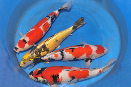 Carpe koi bassin carpe koi bassin with carpe koi bassin for Koi gazette