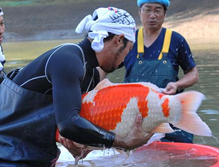 Normandie koi sp cialiste de la carpe koi japonaise et for Elevage poisson rouge
