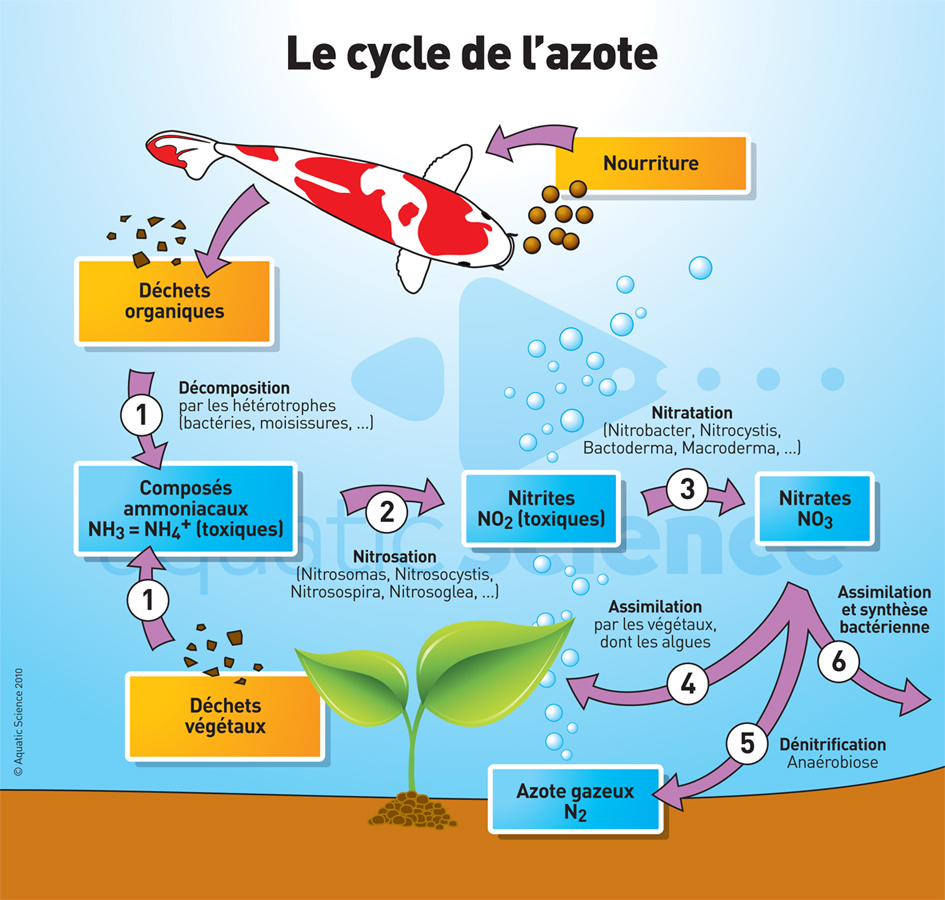 AS_cycle_azote_bassin